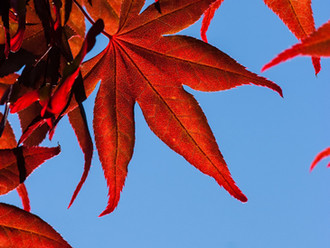 Japanese Maple on Mayne Island
