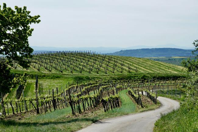 vineyard in spring time