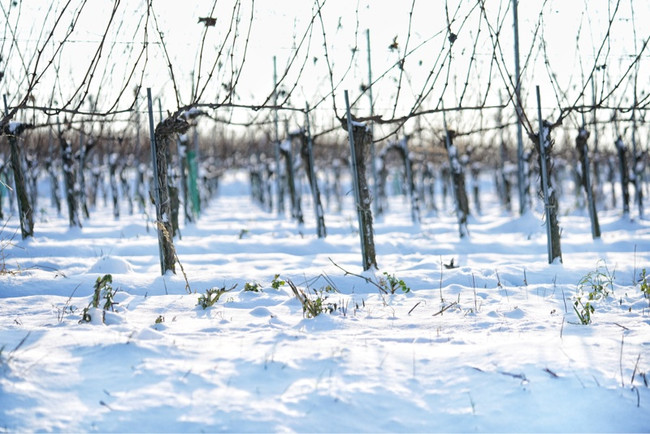 Vineyard in snow