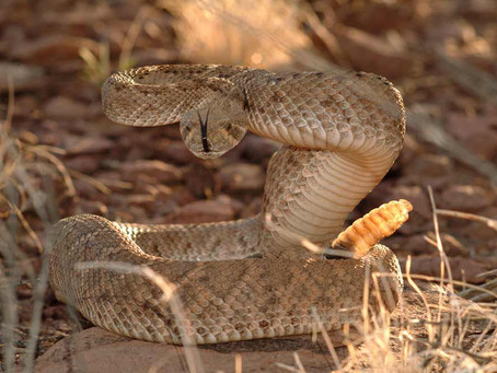 7 Ways Not To Die From A Rattlesnake Bite