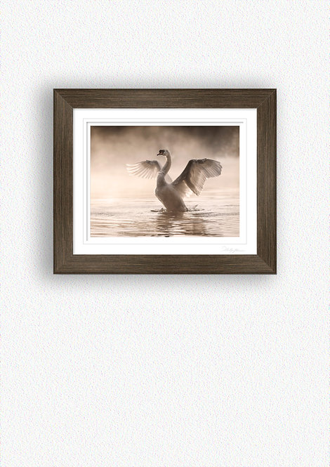 Swan stretching wings Fine Art Print Mounted in Brushed Bronze Frame