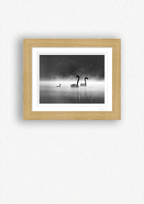 Black and White Swans Fine Art Print Mounted in Oak Frame