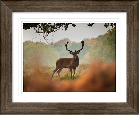 Posing Stag in 16x12 Inch Frame.
