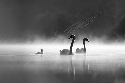 Black and White Swans Fine Art Print