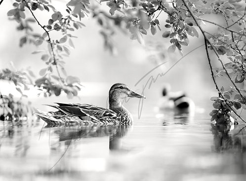 Black and White Duck Fine Art Print