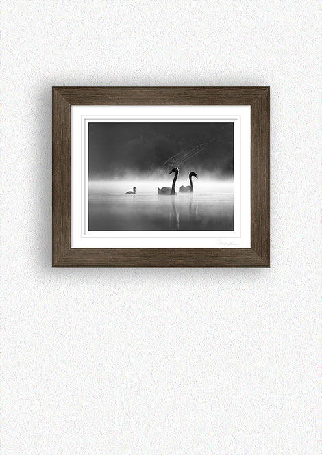 Black and White Swans Fine Art Print Mounted in Brushed Bronze Frame