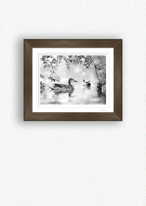 Black and White Duck Fine Art Print Mounted in Brushed Bronze Frame
