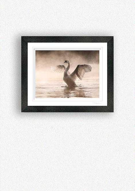 Swan stretching wings Fine Art Print Mounted in Black Frame