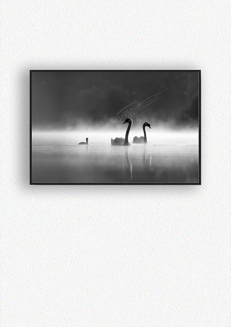 Black and White Swans Fine Art Print Mounted in Box Frame