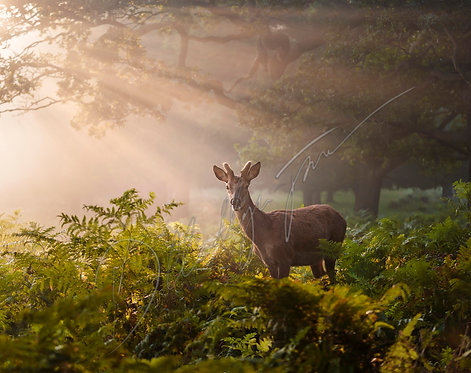 Buck in the Morning sun rays