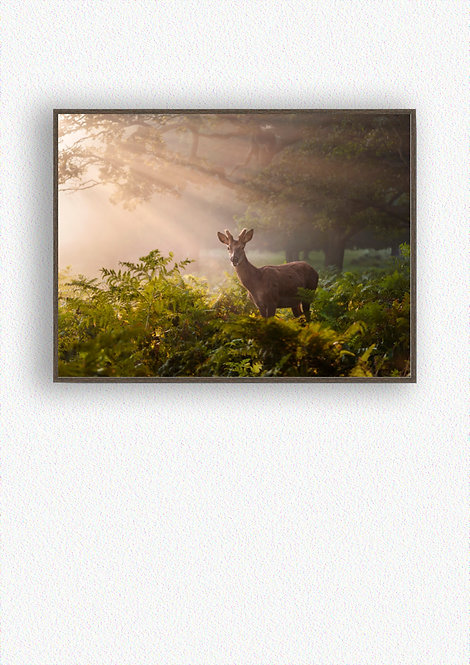 Buck in the Morning sun rays 16x12 Inch Box Frame