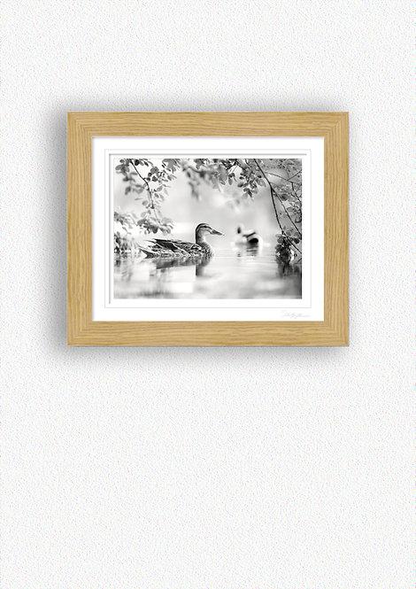 Black and White Duck Fine Art Print Mounted in Oak Frame
