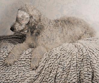 photo of poodle zoe blindfold
