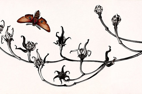 Hawk Moth | Matted Print