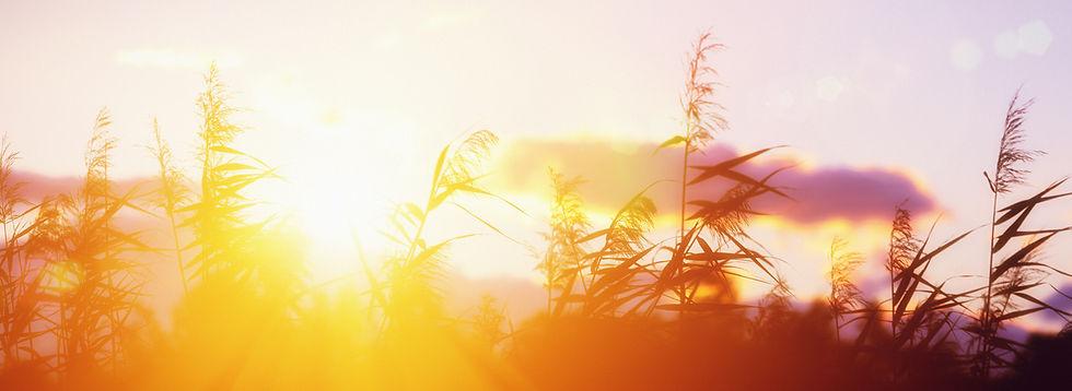 Sunrise Behind Grass (Gold & Purple) - 5