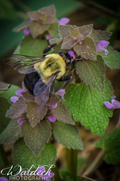 Bumble bees are also important pollinators. They can pollinate plants that honey bees can't because they are bigger and make more vibration for the plant (tomatoes for example) to release their pollen