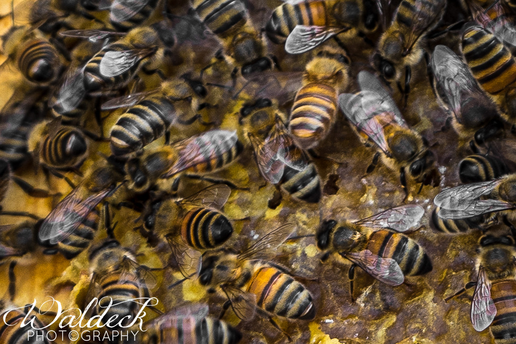 Beeutiful female worker bees