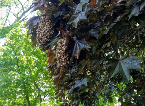 There's a swarm of bees in my yard. What do I do?