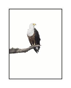 african-fish-eagle-bird-art-print