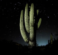 cactus-nocturnojpg