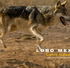 lobo-1jpg