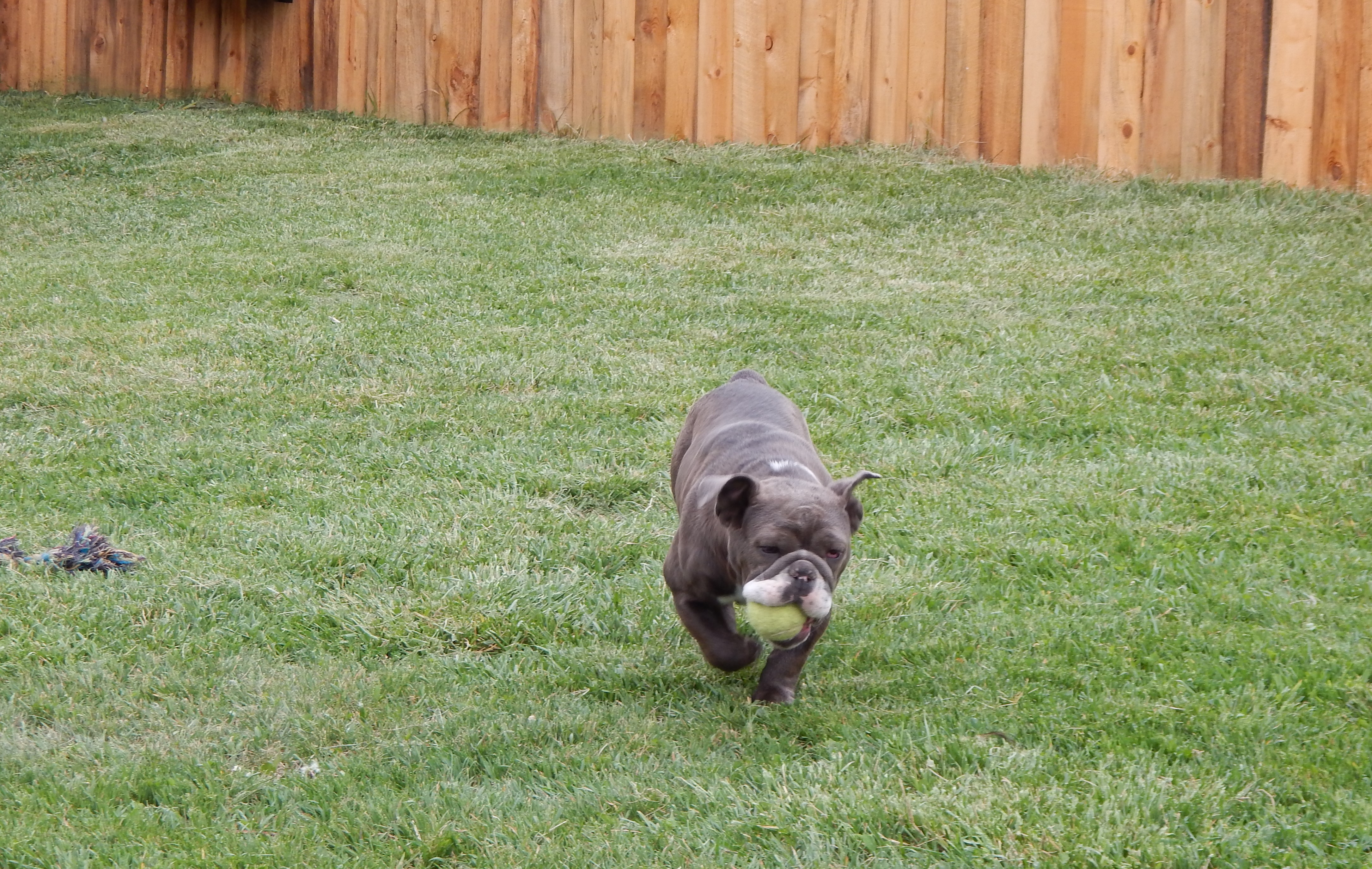 BULLDOGS CAN RUN FAST