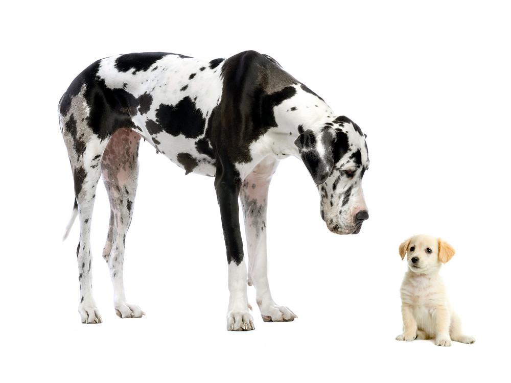 Large Dog Looking at Small Dog
