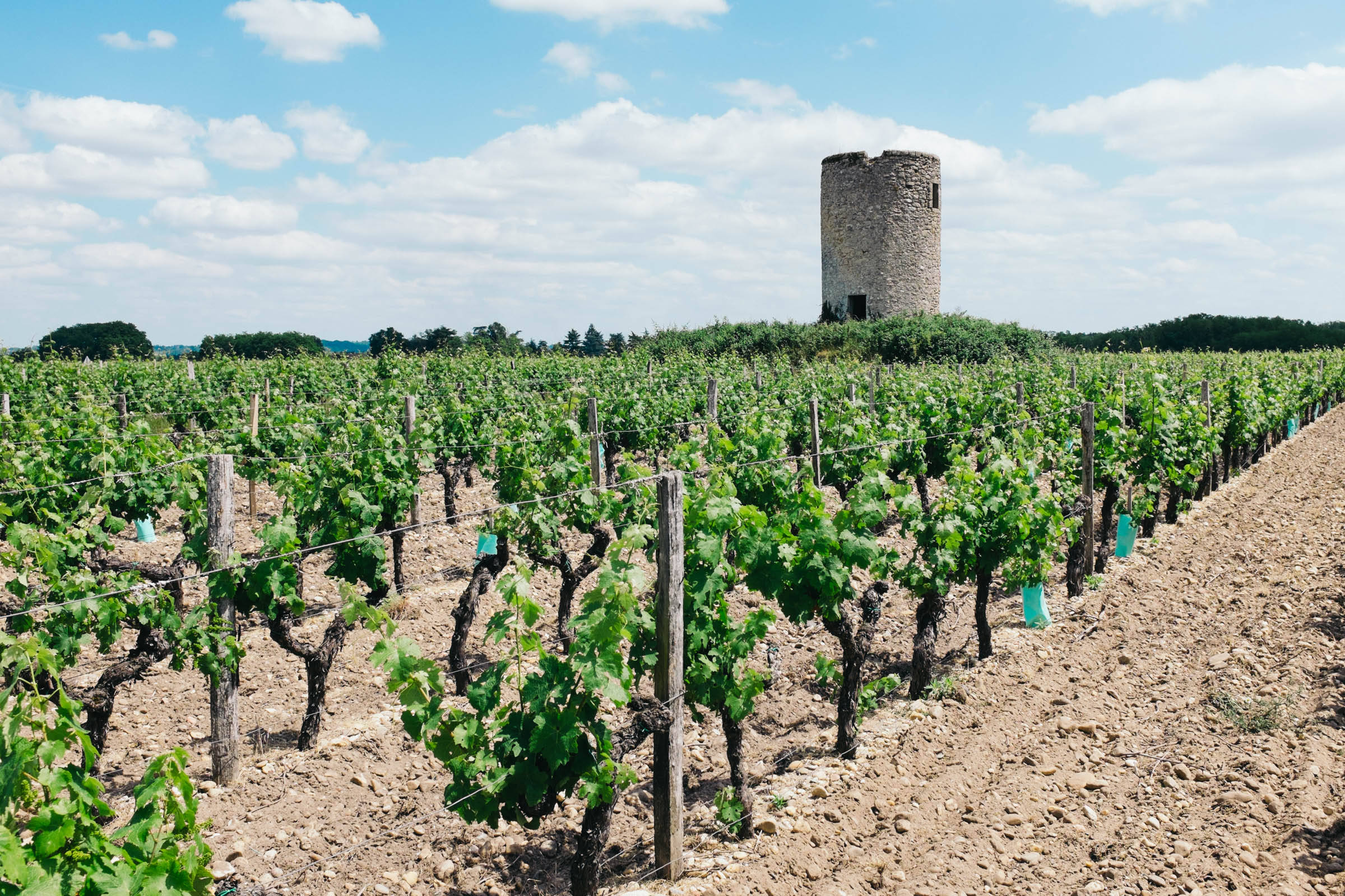 The vines by the moulin