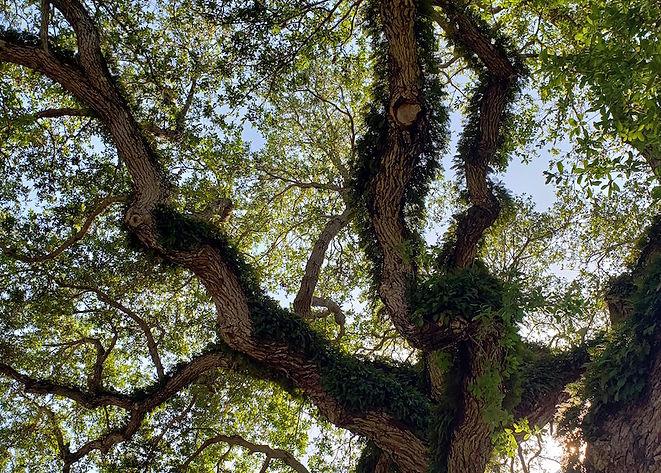 live oak hammock