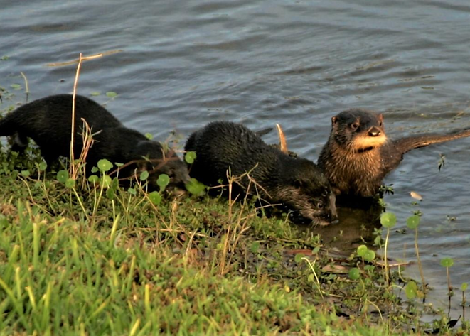 wave 11-otters.png