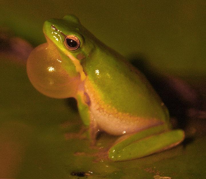 Green Frog showing countershading © John Lovett