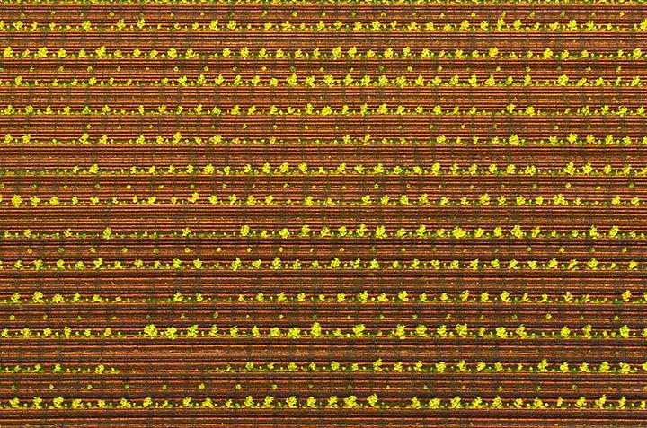 Sandalwood Plantation - Kununurra, Western Australia  © John Lovett