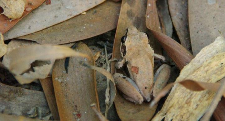 Small Brown Frog showing No Contrast   © John Lovett