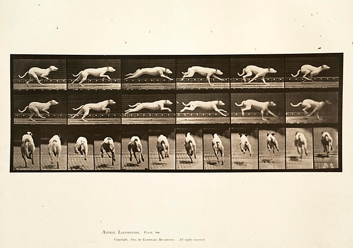 By Eadweard Muybridge  Flickr uploader BPL (Flickr: Animal locomotion. Plate 709) [Public domain], via Wikimedia Commons