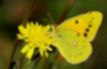 Sulphur Butterfly  © John Lovett
