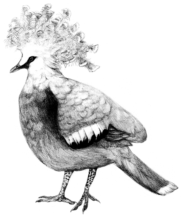 Sheepmaker's Crowned Pigeon