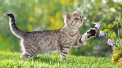 british-shorthair-cat-hd-cat-wallpapers-kittens-widescreen-pussycats-high-resolution-pet-photos-baby