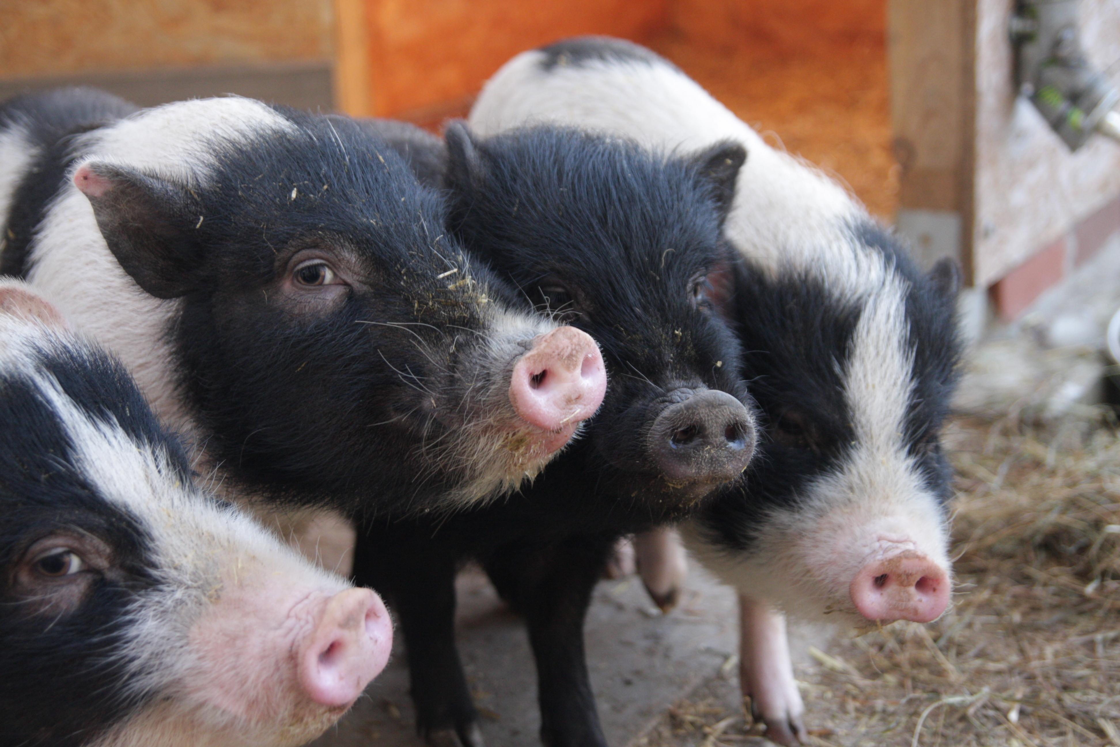 Die Minischweine begrüßen euch...