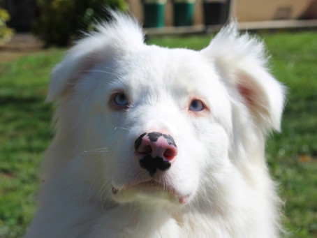 Strengthen Your Relationship With Your Deaf Dog