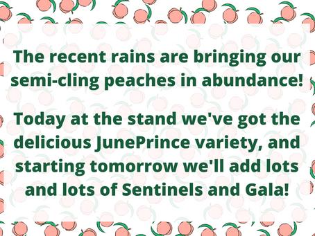 Semi-cling Peaches Coming