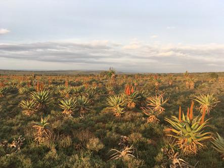 Aloe fields