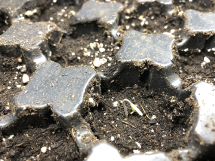A seedling emerging from soil in a seed tray.