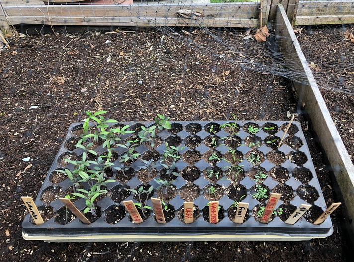 A tray of seedlings set outside to harden off.