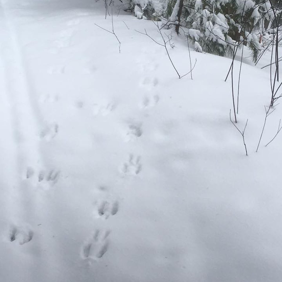 Animal tracks in the snow at the Growing Center