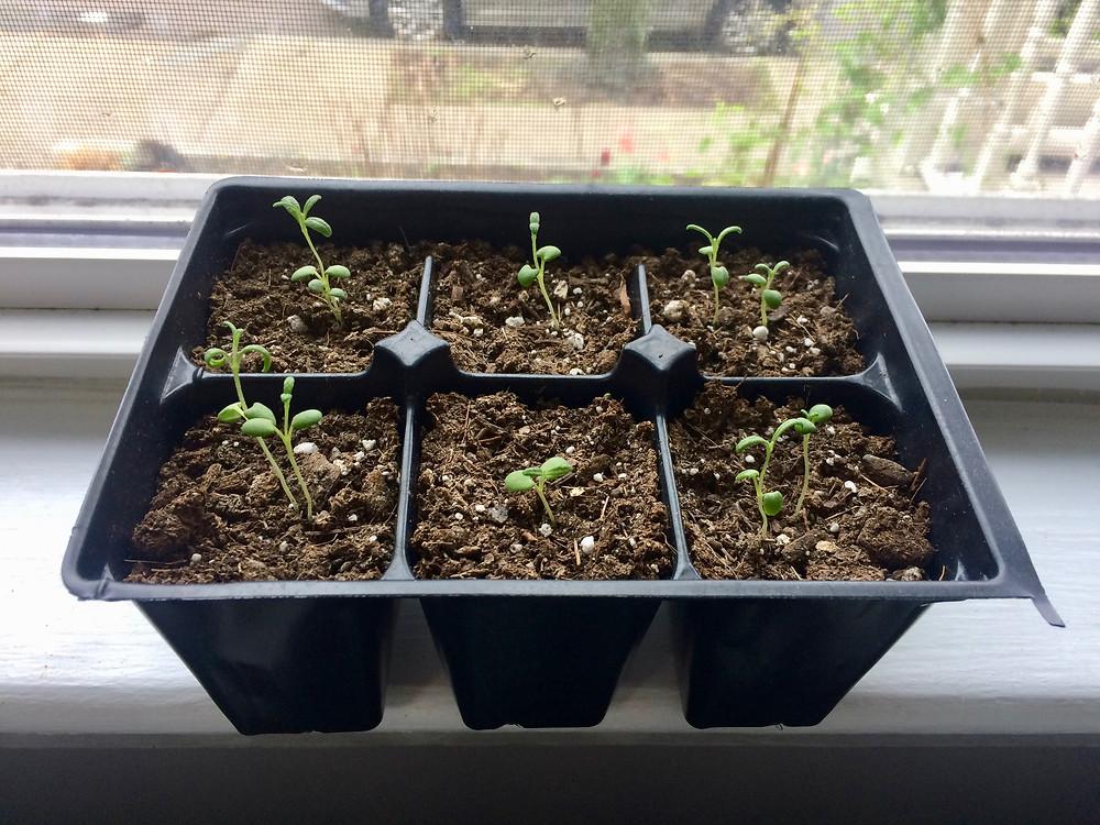 Rosemary seedlings growing in a windowsill.