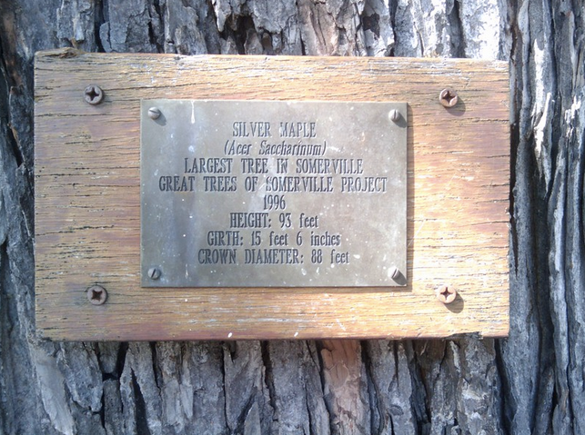 """Plaque on the """"Largest Tree in Somerville"""" in 1996. Photo by Doug Orleans, 2010."""