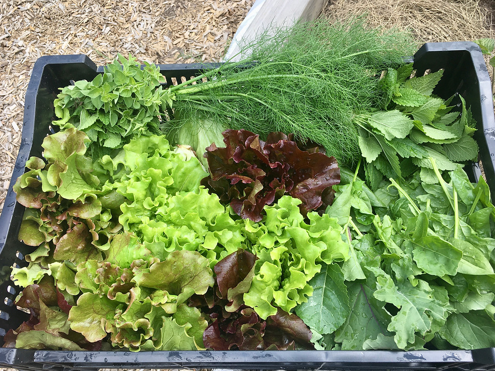 A bin full of fresh veggies growing and harvested at the Growing Center.