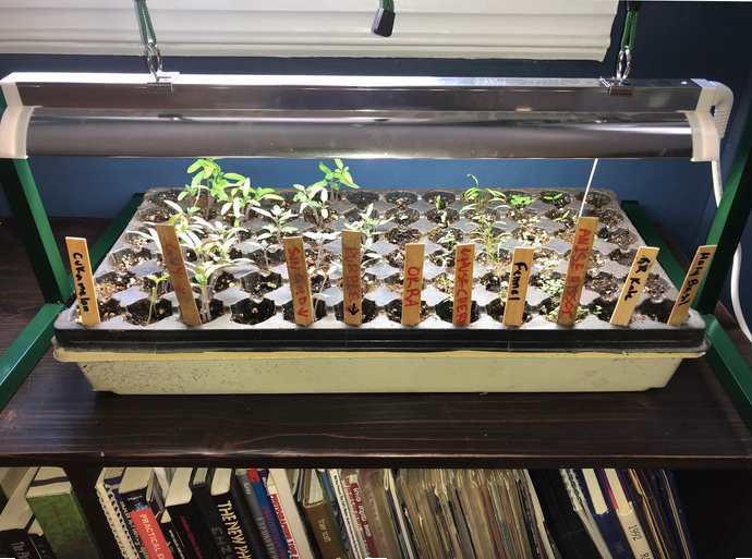 A seed tray full of seedlings under a plant light.