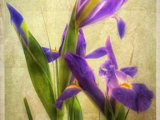 vintage-irises.jpg