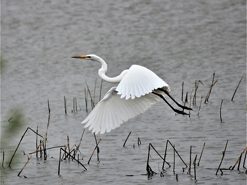 "GREAT EGRET-16"" X 20"" PHOTOGRAPH ON CANVAS, GALLERY WRAPPED"